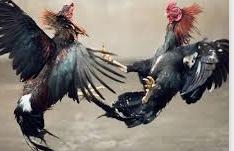 Agent Sabung Ayam Teraman