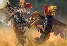 Bandar Judi Sabung Ayam