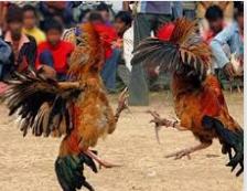 Judi Sabung Ayam Terbaik