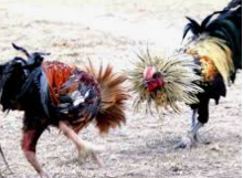 Sabung Ayam Judi Online