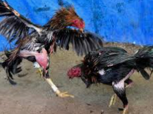 Sabung Ayam Taruhan Resmi